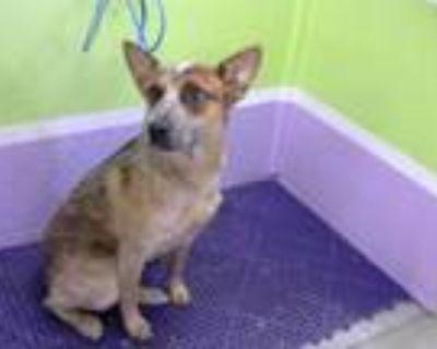 Adopt INDY a Australian Cattle Dog / Blue Heeler, Mixed Breed