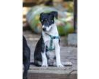 Adopt Gale a Black - with White Border Collie / Mixed dog in Lafayette