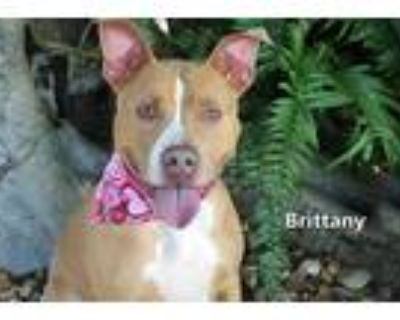 Adopt BRITTANY a Red/Golden/Orange/Chestnut - with White American Pit Bull