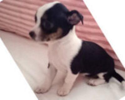 Shihtzu Chihuahua mix tiny toys. 1 male 2 Female. $300