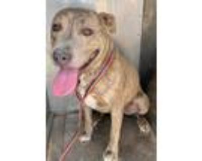 Adopt a Brindle American Pit Bull Terrier / Mixed dog in Hesperia, CA (31962986)