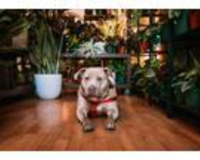 Adopt Pattie a American Staffordshire Terrier, Pit Bull Terrier