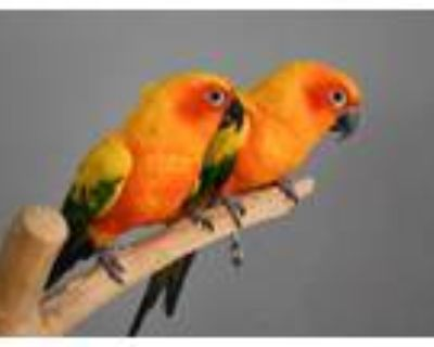 Adopt Kenny and Mya a Conure