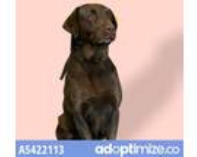 Adopt CHICA a Brown/Chocolate Labrador Retriever / Mixed dog in Baldwin Park