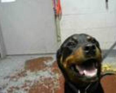 Adopt AILSA a Rottweiler