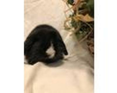 Adopt Pretinha a Black Lop, Holland / Mixed (short coat) rabbit in West Palm