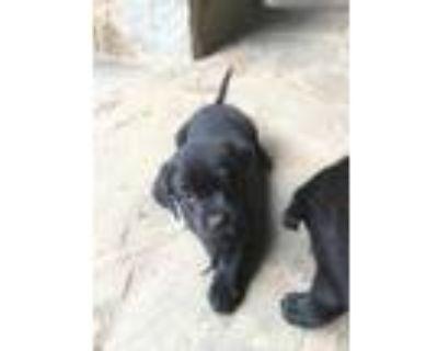 Adopt Arlo a Black Labrador Retriever / Mixed dog in Cumming, GA (31618177)