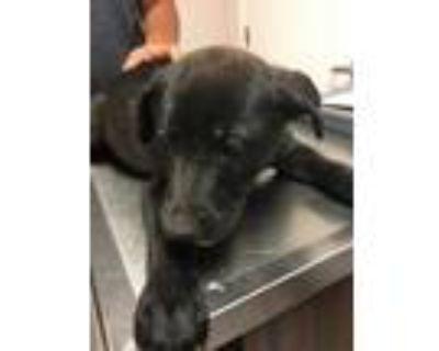 Adopt 48238987 a Black American Pit Bull Terrier / German Shepherd Dog / Mixed