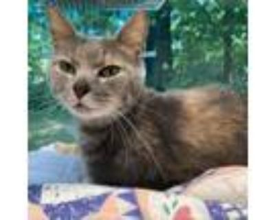 Adopt Sneaks a Gray or Blue Domestic Shorthair / Domestic Shorthair / Mixed cat