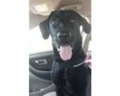 Adopt Carter a Black - with White Labrador Retriever / Australian Shepherd /