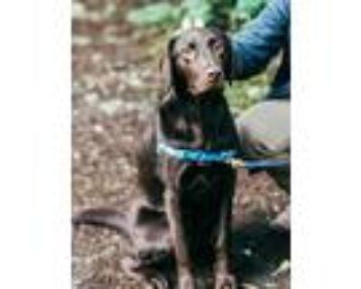 Adopt WELLINGTON a Brown/Chocolate Labrador Retriever / Mixed dog in Marina Del