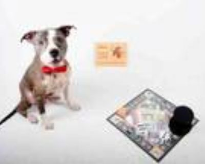Adopt CHANCE a Pit Bull Terrier, Mixed Breed