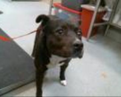 Adopt JOURNEY a Pit Bull Terrier, Mixed Breed
