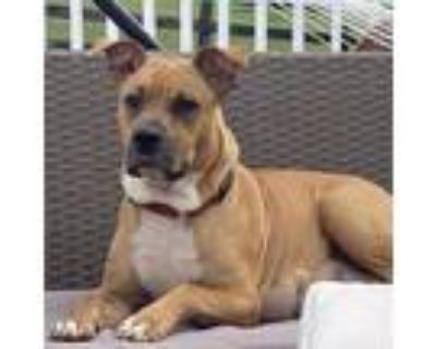 Adopt Roxi a Boxer / Pit Bull Terrier / Mixed dog in Potomac, MD (31943637)
