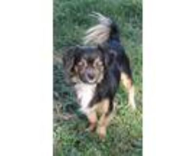 Adopt Chi mix Chico (Stefan) a Black - with Tan, Yellow or Fawn Japanese Chin /