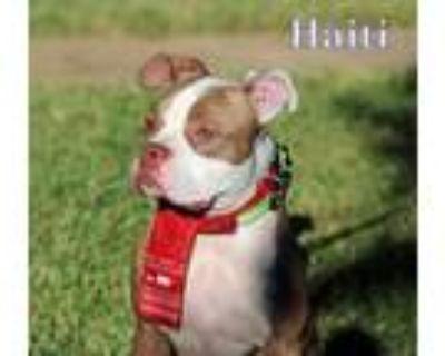 Adopt HAITI a Staffordshire Bull Terrier