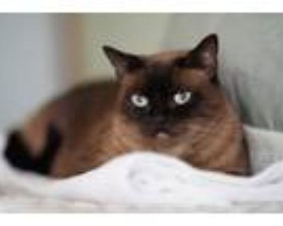 Adopt Sam - Special Agent Mittens a Tan or Fawn Siamese (short coat) cat in