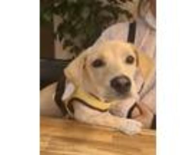 Adopt Apple a Tan/Yellow/Fawn Dachshund / Jindo / Mixed dog in Beverly Hills