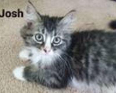 Adopt Josh a Domestic Long Hair, Maine Coon