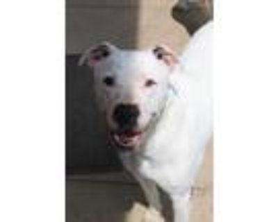 Adopt BRO a White American Pit Bull Terrier / Mixed dog in Mayfield