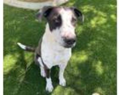 Adopt BLAKE a Labrador Retriever