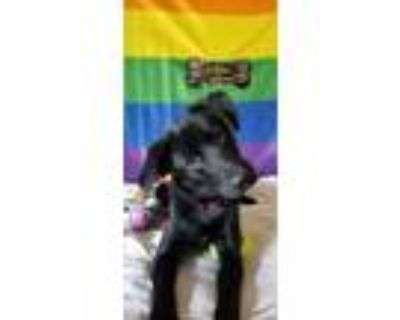 Adopt Alteria a Black Border Collie / Flat-Coated Retriever / Mixed dog in