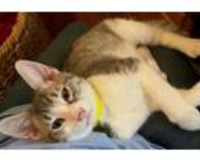 Adopt Cash a Gray or Blue (Mostly) Domestic Shorthair / Mixed (short coat) cat