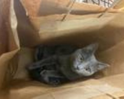 Adopt Blue a Gray or Blue American Shorthair / Mixed (short coat) cat in