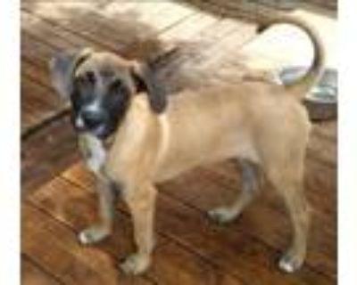 Adopt Bogart a Tan/Yellow/Fawn - with Black Boxer / Mixed Breed (Medium) / Mixed
