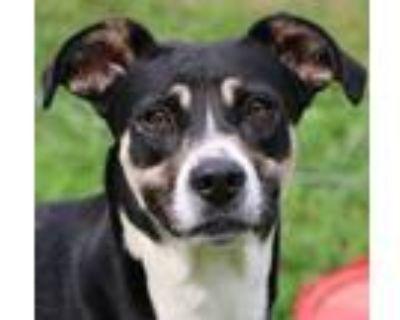 Adopt Snoopy a German Shepherd Dog, Mixed Breed