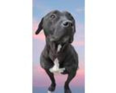Adopt Chase a Black American Pit Bull Terrier / Labrador Retriever dog in