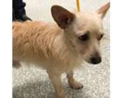 Adopt Beau a Cairn Terrier, Corgi