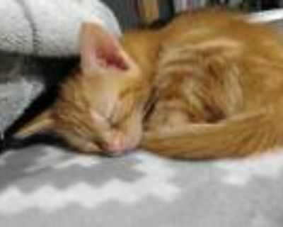 Adopt 4 kittens a Calico or Dilute Calico Calico / Mixed cat in Stapleton