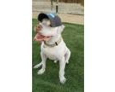 Adopt Griswold! a American Staffordshire Terrier, Pit Bull Terrier
