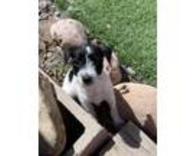 Adopt Meka a Terrier (Unknown Type, Medium) / Standard Schnauzer / Mixed dog in