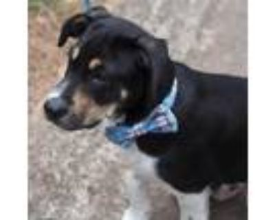 Adopt Tony Starr a Tricolor (Tan/Brown & Black & White) Hound (Unknown Type) /