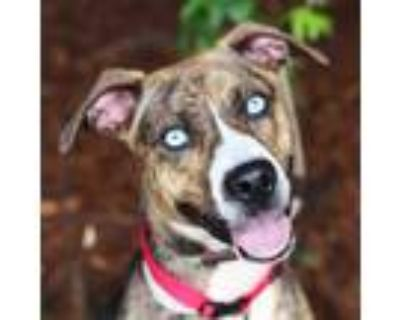 Adopt Mocha Latte a Brindle Hound (Unknown Type) / American Pit Bull Terrier /