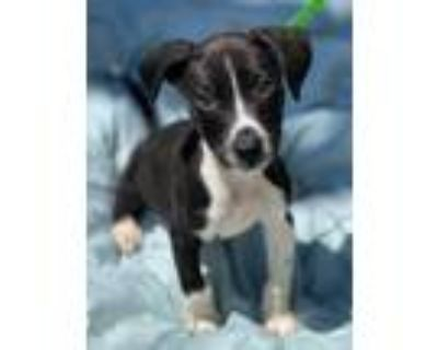 Adopt Taco a Black Border Collie / Terrier (Unknown Type