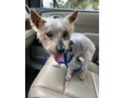 Adopt Rudy a Yorkshire Terrier