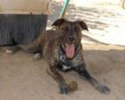 Adopt Bonnie a Brindle - with White Mastiff / Mixed dog in Apple Valley