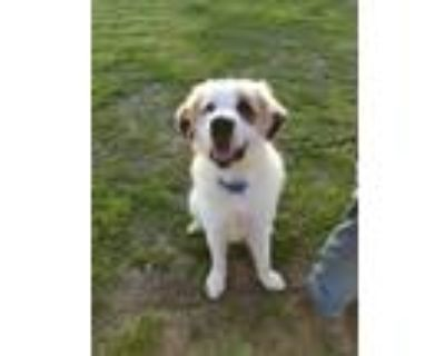 Adopt Brock a White - with Brown or Chocolate St. Bernard / Great Pyrenees /