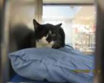 Toby, American Shorthair For Adoption In North Richland Hills, Texas