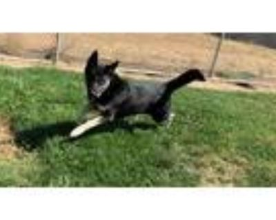 Adopt a Black - with White Husky / Mixed dog in Modesto, CA (32005441)