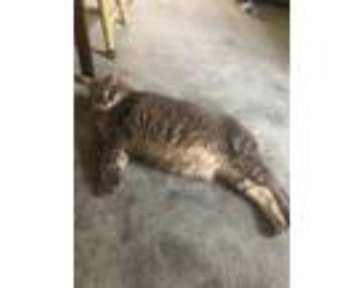Adopt Peaches a Gray or Blue American Shorthair / Mixed (short coat) cat in