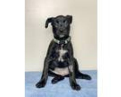 Adopt Lark a American Staffordshire Terrier, Mixed Breed