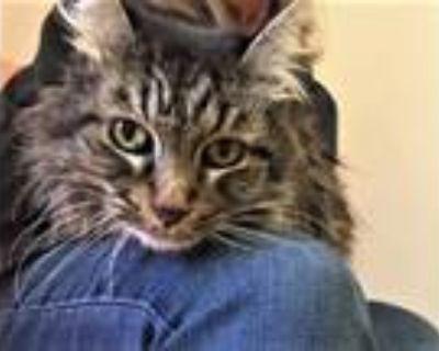 Adopt Ellie Mae a Brown Tabby Domestic Longhair / Mixed (long coat) cat in Seal