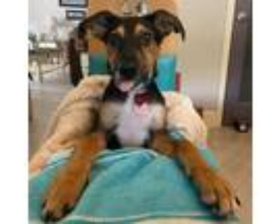 Adopt Sloan a Brown/Chocolate - with Black Australian Kelpie / Mixed dog in