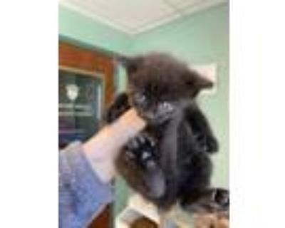 Adopt Lime a All Black Domestic Shorthair / Domestic Shorthair / Mixed cat in