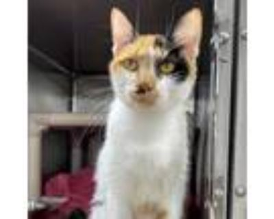 Adopt MingMing a Calico or Dilute Calico Domestic Shorthair (short coat) cat in