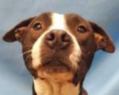 Adopt Brisby a Black American Pit Bull Terrier / Mixed dog in Coon Rapids